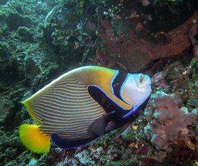 Angelfish, Emperor Angelfish