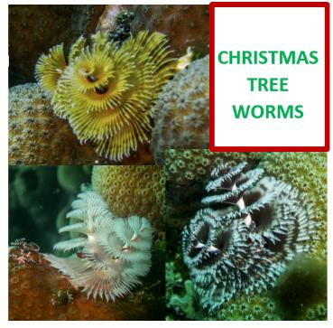 xmas-tree-worms-3a